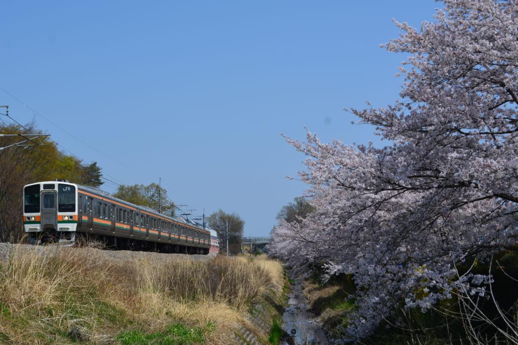 あしかがフラワーパーク駅に隣接する足利フラワーパークでは満開の桜となった横を通過する211系